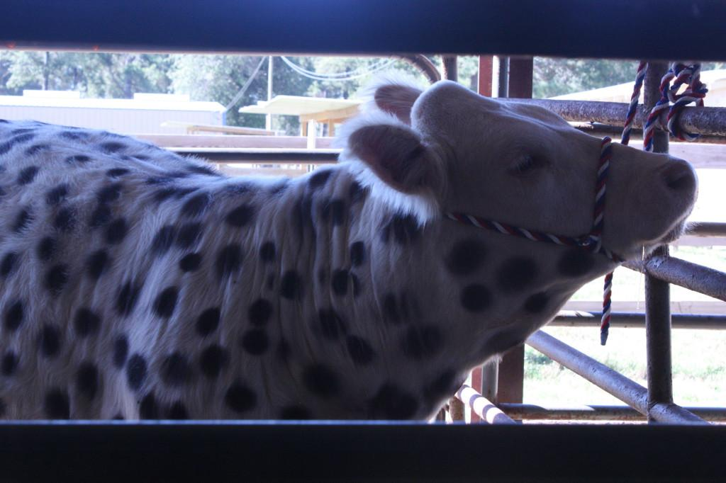 All spotted: One of the FFA animals dressed up for Halloween last October.