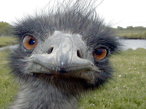 Which emu are you